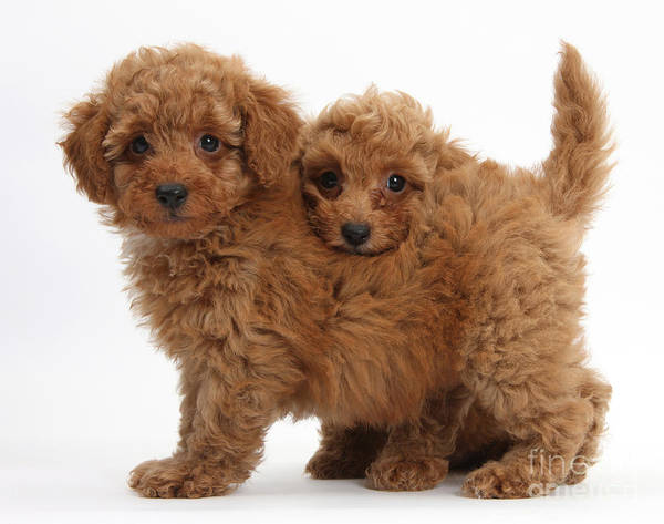 Photograph - Two Cute Red Toy Poodle Puppies by Mark Taylor