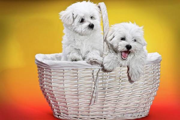 Sweet Puppy Photograph - Two Cute White Puppies In Basket by Photostock-israel