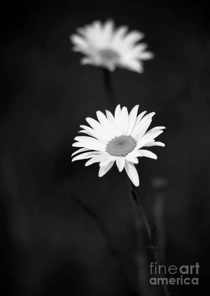 Photograph - Two Daisies In Black And White by Sabrina L Ryan