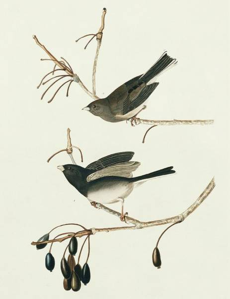 Dark Eyed Junco Photograph - Two Dark-eyed Junco by Natural History Museum, London/science Photo Library