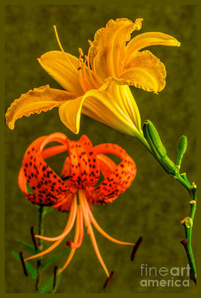 Photograph - Two Different Lily's  by Dave Bosse