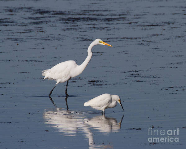 Photograph - Two Egrets by Chris Scroggins