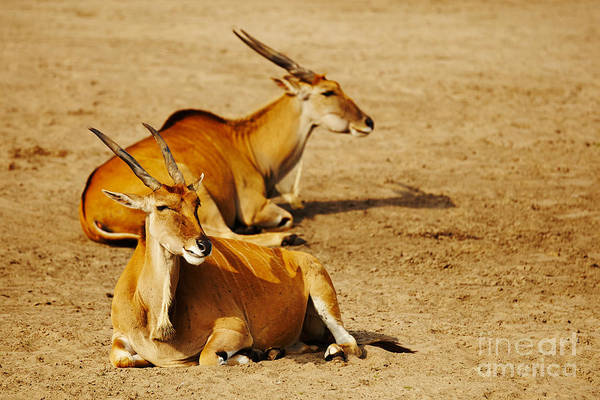 Photograph - Two Eland Antelopes by Nick  Biemans