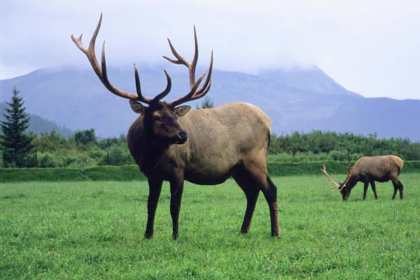 Elk Herd Photograph - Two Elk Bulls Grazing In A Grass by Angel Wynn