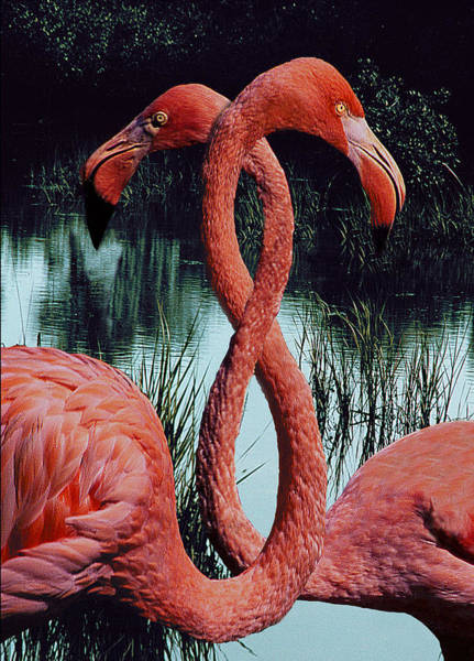 Wall Art - Digital Art - Two Flamingos by Fred Leavitt