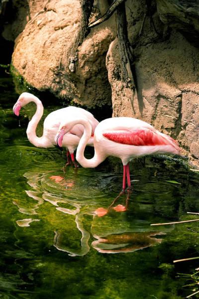 Photograph - Two Flamingos by Goyo Ambrosio
