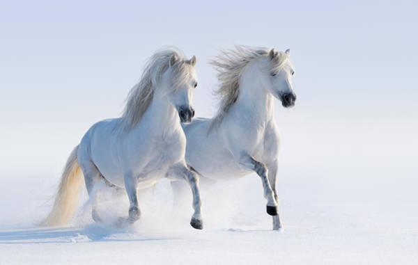 Two Galloping Snow-white Horses Art Print by Abramova_Kseniya