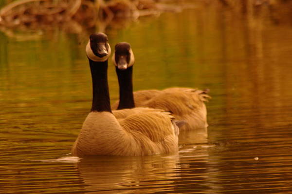 Wall Art - Photograph - Two Geese In A Line by Jeff Swan