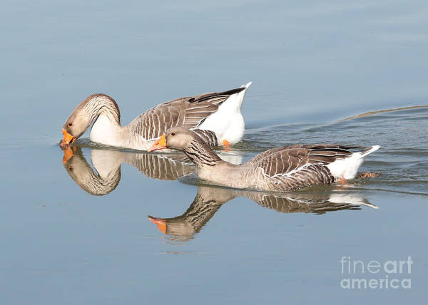 Photograph - Two Geese Reflecting On Water by Carol Groenen