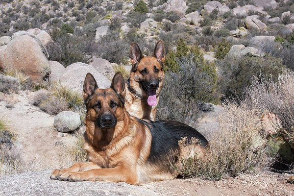 Wall Art - Photograph - Two German Shepherds In The Foothills by Zandria Muench Beraldo