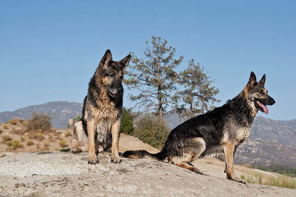 Two German Shepherds Sitting On A Rock Art Print