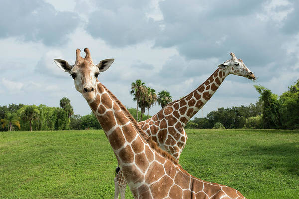 Wall Art - Photograph - Two Giraffes Crossed, One Looking by Sheila Haddad