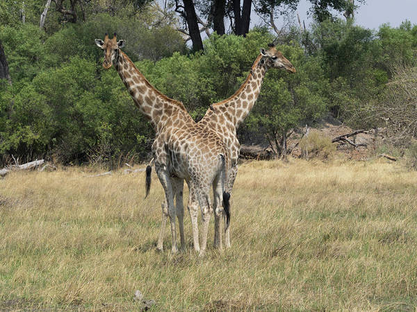 Okavango Delta Photograph - Two Giraffes Giraffa Camelopardalis by Panoramic Images