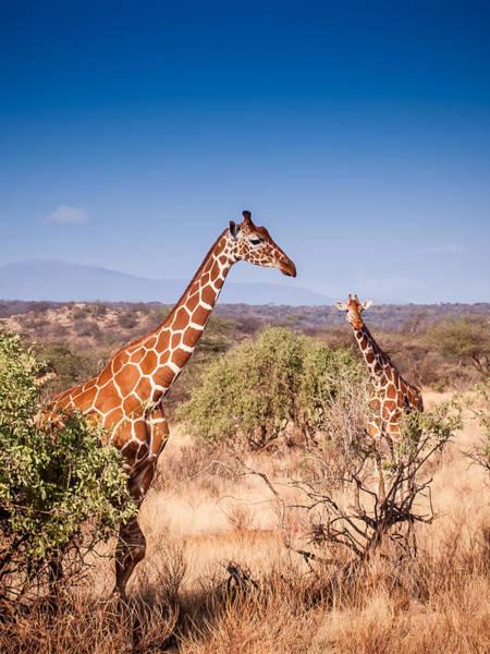 Photograph - Two Giraffes by Jim DeLillo