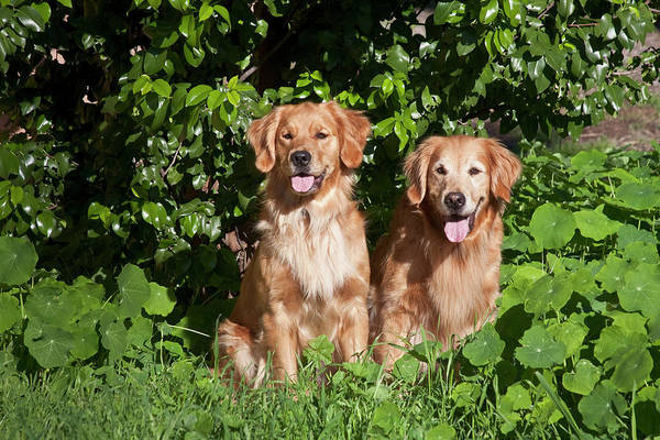 Service Dog Photograph - Two Golden Retrievers Sitting At A Park by Zandria Muench Beraldo