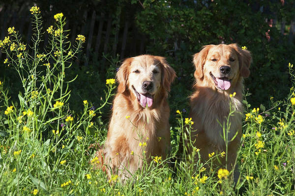 Carefree Wall Art - Photograph - Two Golden Retrievers Sitting Together by Zandria Muench Beraldo