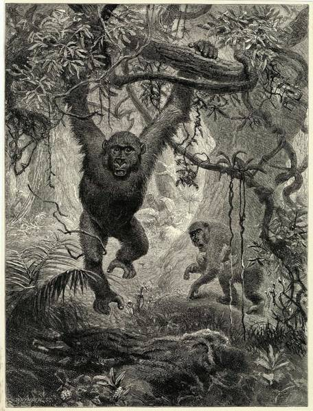 Wall Art - Drawing - Two Gorillas In The Jungle by Mary Evans Picture Library