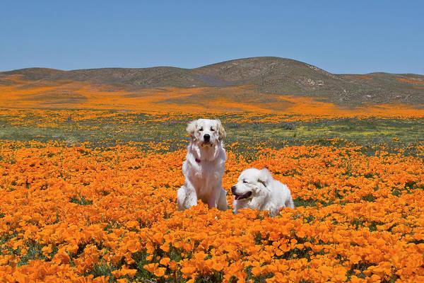 Great Pyrenees Photograph - Two Great Pyrenees Together In A Field by Zandria Muench Beraldo