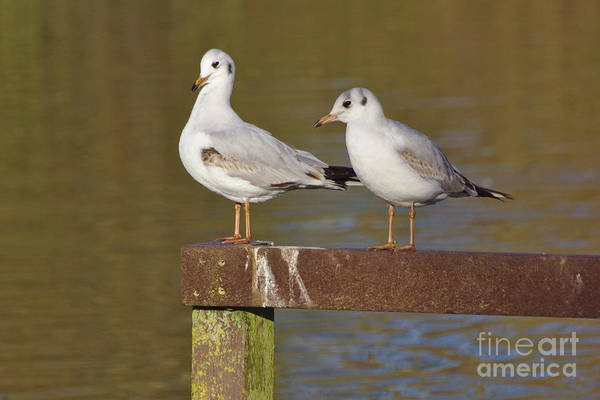 Photograph - Two Gulls by Jeremy Hayden