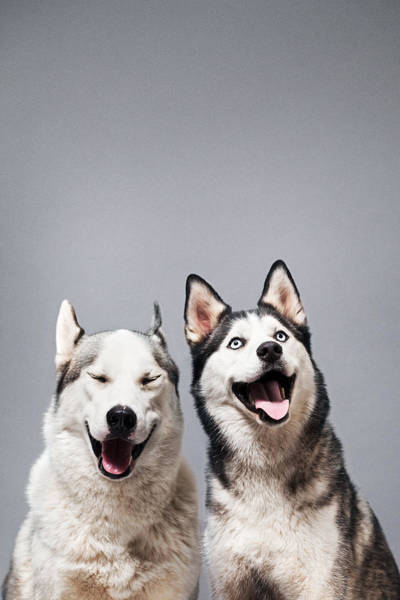 Two Happy Husky Dogs Art Print by Ilka & Franz
