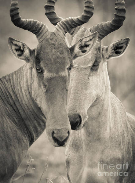 Photograph - Two Hartebeests by Chris Scroggins