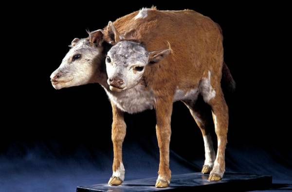 Stuffed Animal Photograph - Two-headed Calf by Patrick Landmann/science Photo Library