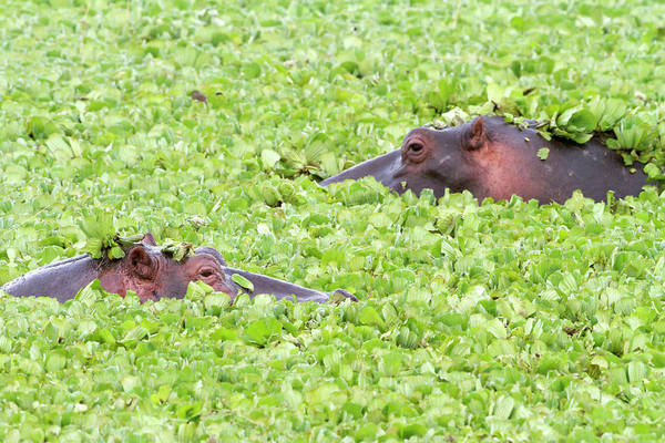 Hippo Photograph - Two Hippos In A Pond, Masai Mara by Angelika