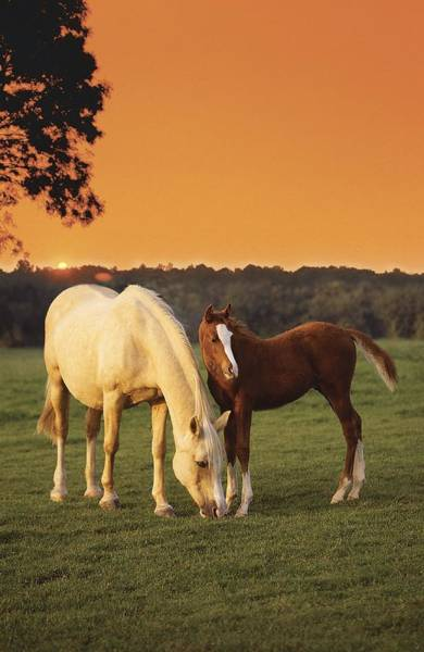 Foal Photograph - Two Horses And Sunset by MGL Meiklejohn Graphics Licensing
