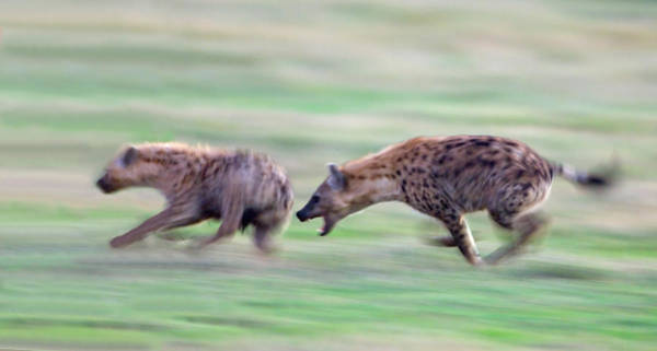 Hyena Photograph - Two Hyenas Running In A Field by Panoramic Images