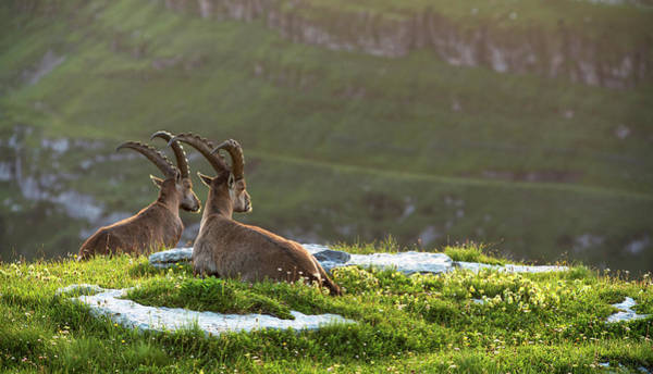 Ibex Wall Art - Photograph - Two Ibex Capra Ibex In The Swiss Alps by Sa*ga Photography
