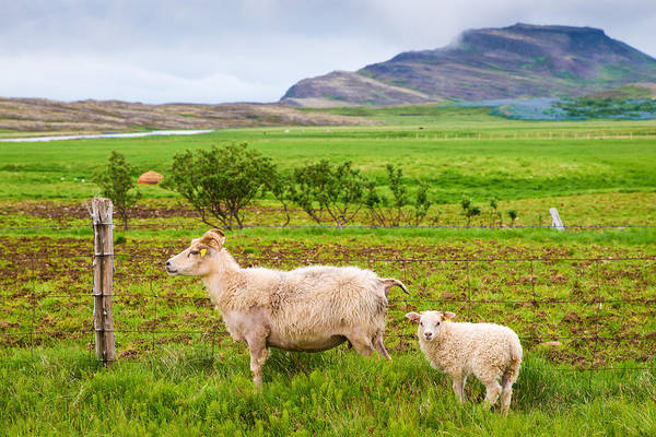 Photograph - Two Icelandic Sheep In Iceland by Matthias Hauser