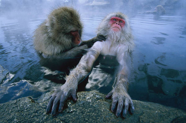 Photograph - Two Japanese Macaques, Or Snow Monkeys by Tim Laman