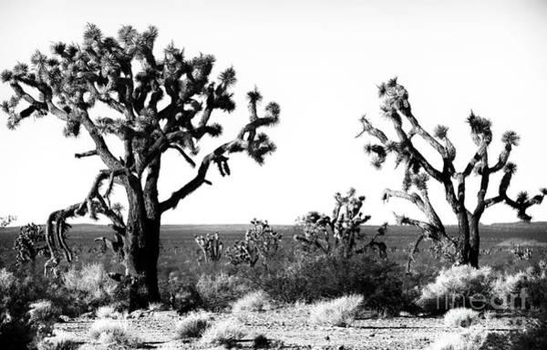 Yucca Palm Photograph - Two Joshua Trees by John Rizzuto