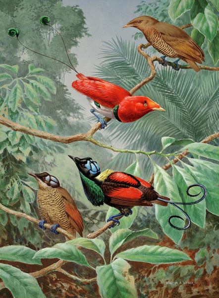 Wall Art - Photograph - Two King Birds Of Paradise Perch by Walter A. Weber