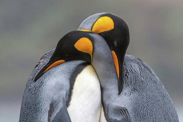 Wall Art - Photograph - Two King Penguins, Aptenodytes by Tom Murphy