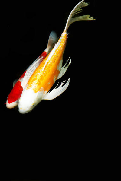 Koi Photograph - Two Koi Together by Rebecca Cozart