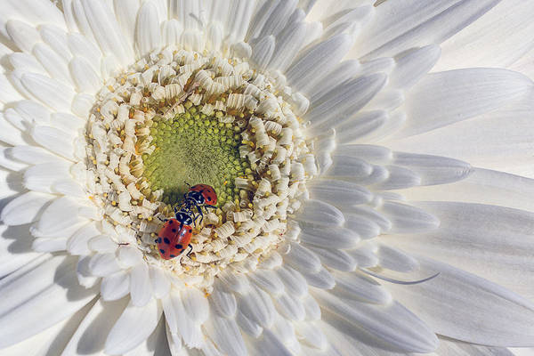 Lady Bug Wall Art - Photograph - Two Ladybugs Meet by Garry Gay