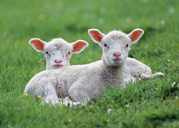 Photograph - Two Lambs by John Daniels