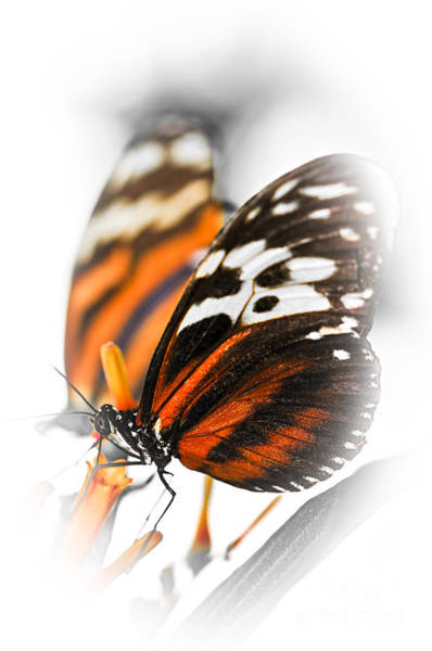 Photograph - Two Large Tiger Butterflies by Elena Elisseeva