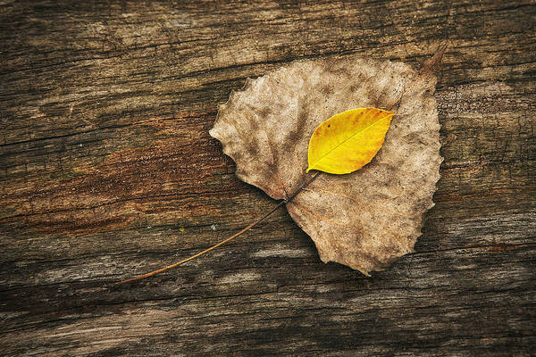 Tree Bark Wall Art - Photograph - Two Leaves  by Scott Norris