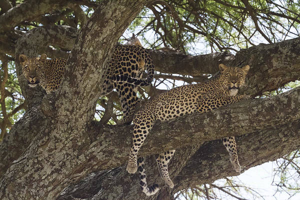 Photograph - Two Leopards In A Tree by Chris Scroggins