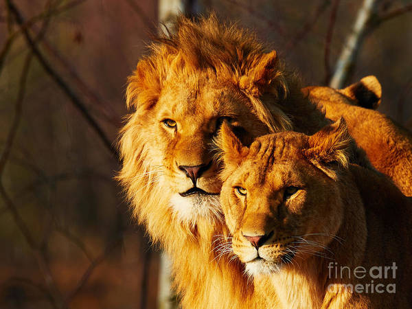 Photograph - Two Lions In A Forest by Nick  Biemans