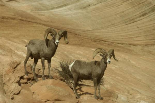 Living Things Photograph - Two Male Rams At Zion by Jeff Swan
