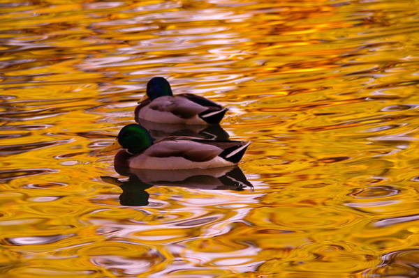 Living Things Photograph - Two Mallards On Golden Water by Jeff Swan