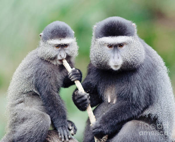 Photograph - Two Monkeys by Pam  Holdsworth