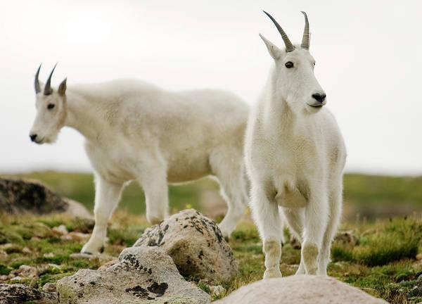 Mt. Adams Photograph - Two Mountain Goats Near The Summit by Sam Adams