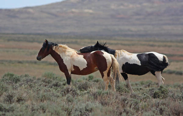 Photograph - Two Mustangs In Wyoming by Jean Clark