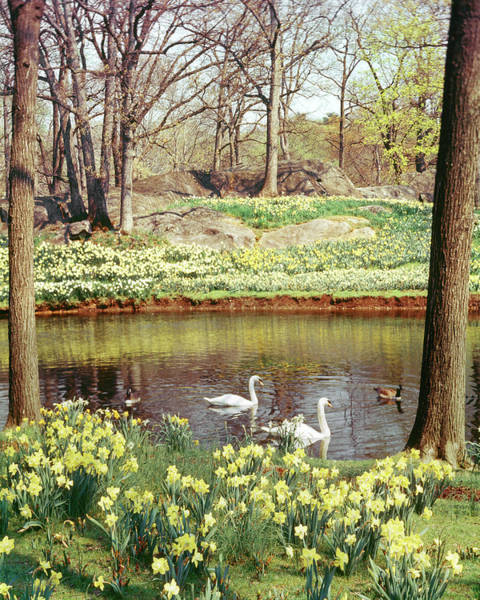 Cygnet Wall Art - Photograph - Two Mute Swans And Several Canada Geese by Animal Images