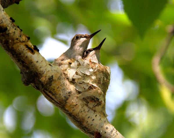 Photograph - Two Nestling Black-chinned Hummingbirds by Ed  Riche