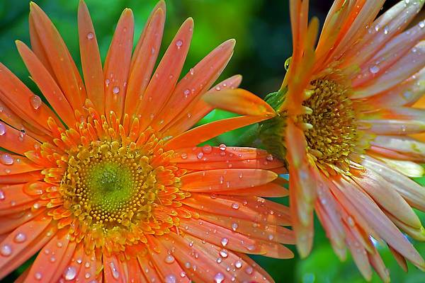 Photograph - Two Orange Daisies by Beth Akerman